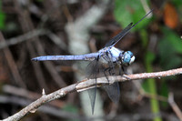 Great Blue Skimmer (Libellula vibrans)