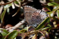 Callophrys polios
