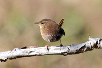 Wrens of Massachusetts