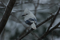 Leucistic Blue Jay, Natick