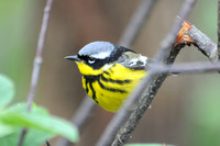 Massachusetts Wood Warblers