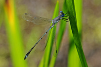 Zygoptera - Spreadwings