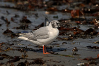 Winthrop's Bonaparte's and a Laughing Gull