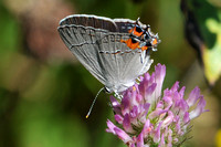 Gray Hairstreak - S. melinus
