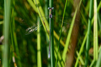 Swamp Spreadwing (Lestes vigilax)